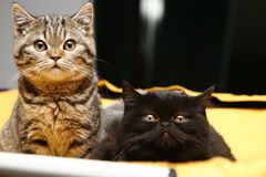 British kittens. Couple of  pure-bred british kittens at show sitting on the cage Stock Photo