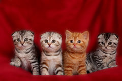 British kittens. Four various british kittens sitting on red plaid Royalty Free Stock Images
