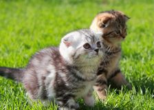 British kittens on grass looking on Royalty Free Stock Images