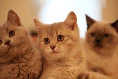 British kittens. Little kittens of the British cat breed. small depth of sharpness Stock Photos