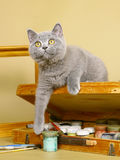 British kittens with paints. Blue British kittens with paints royalty free stock photos