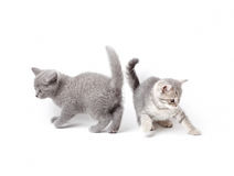 British kittens playing stock photos