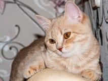 British kitty. British cat on the sofa Stock Photos