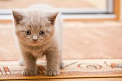 British Lilac Kitten Royalty Free Stock Image