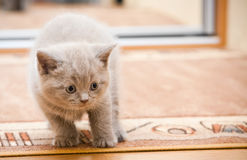 British Lilac Kitten Stock Photography
