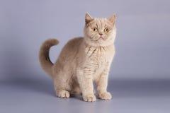 British lilac kitten, Scottish straight. Kitten is newborn, suckling. Little kitten with newly opened eyes, British blue kitten, Pets, a very small kitten on a Royalty Free Stock Image
