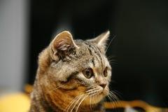 British little kitten. Striped little cat british little kitten looking ahead royalty free stock photo