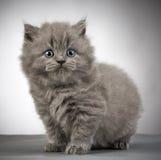 British long hair kitten Royalty Free Stock Photo