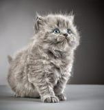 British long hair kitten Royalty Free Stock Image