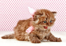 British long hair kitten Stock Photo