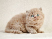 British long hair kitten Stock Images