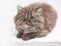British long hair kitten Stock Photography