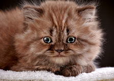 British long hair kitten Stock Image