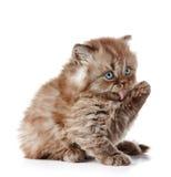 British long hair kitten Stock Images