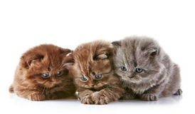 British long hair kittens Royalty Free Stock Photography