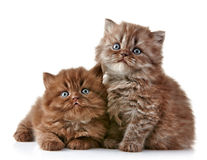 British long hair kittens Stock Photos