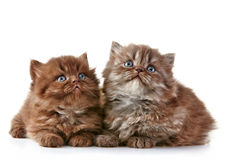 British long hair kittens Stock Photo