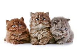 British long hair kittens Royalty Free Stock Photos