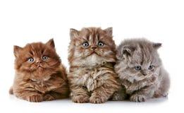 British long hair kittens Royalty Free Stock Photos