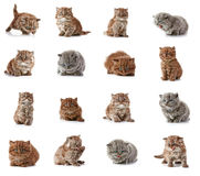 British long hair kittens Royalty Free Stock Images