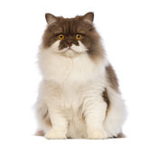 British Longhair, 10 months old, sitting and looking at the camera Royalty Free Stock Image