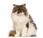 British Longhair, 10 months old, sitting and looking at the camera Stock Photo