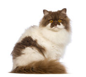 British Longhair, 10 months old, sitting and looking at the camera Royalty Free Stock Images