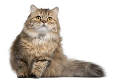British Longhair cat, 1 year old Stock Photos
