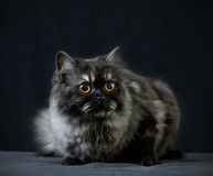 British longhair cat Stock Photography