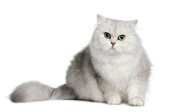 British longhair cat, 3 years old Stock Images