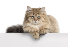 British Longhair cat, 4 months old, lying Royalty Free Stock Photo