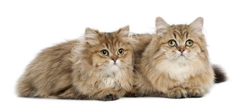 British Longhair cat, 4 months old, lying Stock Image