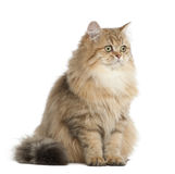 British Longhair cat, 4 months old, sitting Stock Photos