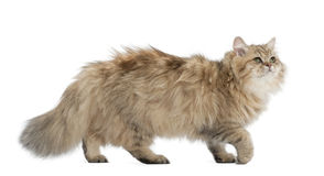British Longhair cat, 4 months old, walking Stock Photo