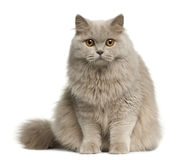 British longhair cat, 8 months old, sitting royalty free stock image