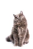 British Longhair Cat Stock Photo