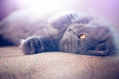British longhair Cat Royalty Free Stock Photography
