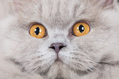 British longhair cat portrait close up Stock Photo
