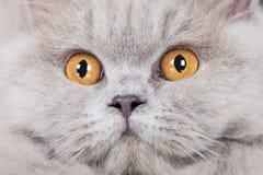 British longhair cat portrait close up. British longhair cat posing in the studio Stock Photo