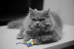 British Longhair Cat with Toy Mouse Stock Image