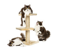 British longhair cats on a cat tree. Isolated on white royalty free stock photos