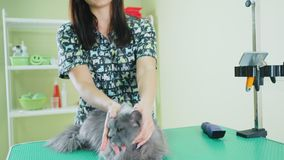 British longhair gray cat with yellow eyes on a haircut at the groomer stock video