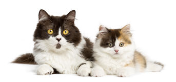 British longhair and highland straight kitten lying together. Isolated on white Stock Photo
