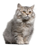 British Longhair kitten Stock Photos