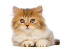 British Longhair kitten, 2 months old, lying and looking at the camera Royalty Free Stock Photography