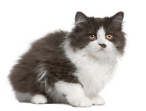 British Longhair kitten, 3 months old, sitting Royalty Free Stock Images