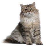 British Longhair kitten, 3 months old, sitting Royalty Free Stock Image