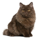 British Longhair kitten, 5 months old, sitting Royalty Free Stock Photos
