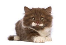 British Longhair kitten, 6 weeks old, lying and looking at the camera Royalty Free Stock Photography