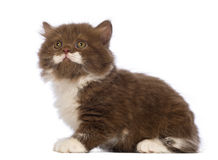 British Longhair kitten, 6 weeks old, sitting and looking up Royalty Free Stock Photos